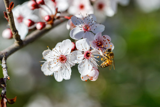 Flowers of a wild plum tree in early spring, a bee foraging for a flower, Prunus cerasifera