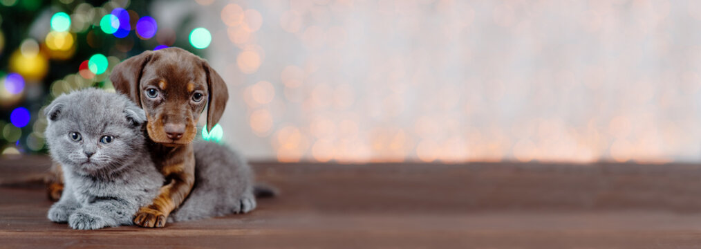 Panoramic shot of a Scot kitten hugging a dachshund puppy on a background of Christmas lights