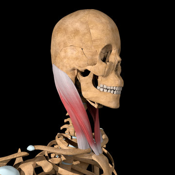 3d Illustration of the Sternocleidomastoid Muscles on Skeleton