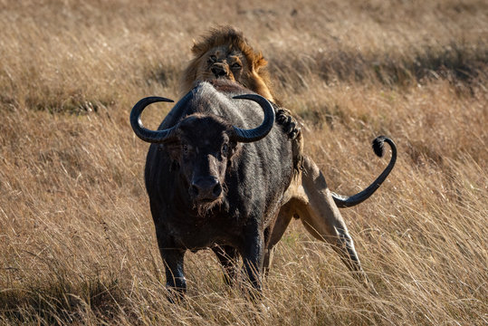 Male lion holds Cape buffalo from behind