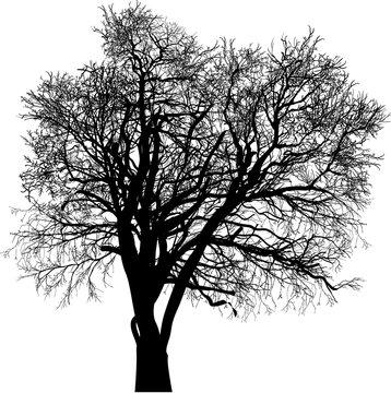 black bare isolated oak large tree