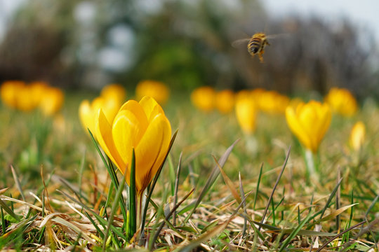 first spring flowers, yellow crocus with bee flying away