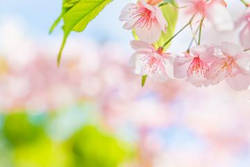 Foto op Plexiglas Kersenbloesem 満開の桜の花