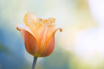 Tulip head on a beautiful natural background. Delicate spring image. Selective soft focus.