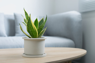 Poster Plant Decorative sansevieria plant on wooden table in living room. Sansevieria trifasciata Prain in gray ceramic pot.