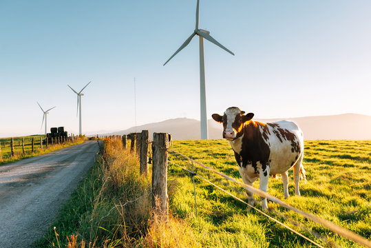 Cow and Wind generators in the background. Nature ecology concept.