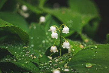 Fotorolgordijn Lelietje van dalen Lily of the valley with raidrops on green leaves