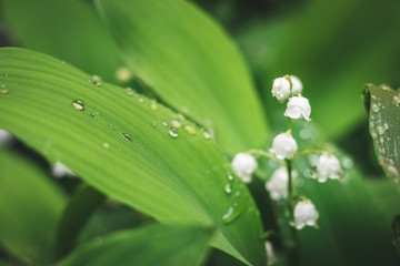 Wall Murals Lily of the valley Lily of the valley in rain