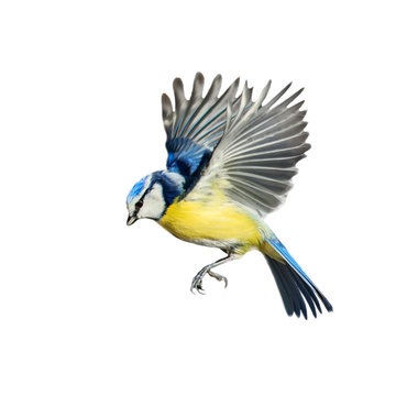 singing little bird azure flies spreading its wings and feathers on a white isolated background