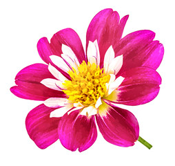 dahlia isolated on white background,watercolor illustration