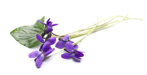 Violets flowers, viola odorata  isolated on white background