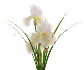 Keuken foto achterwand Iris White iris flower.