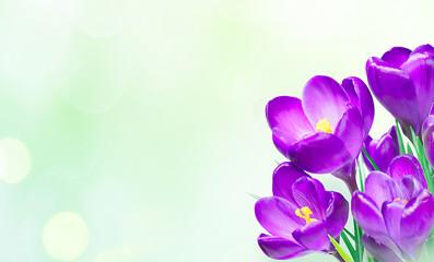 Fotorollo Krokusse Nature Spring Background With bouquet saffron flowers