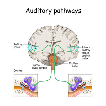 auditory pathways from cochlea in ear to cortex in brain.