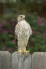 Fototapete - Cooper's Hawk