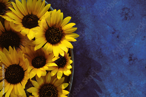 Group of yellow sunflower flowers on blue texture background, copy space for summer sale concept or mother's day.