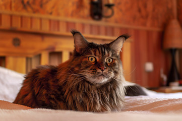 Cat main coon on the bed.