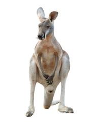 Papiers peints Kangaroo red kangaroo isolated