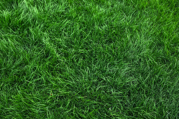 Wall Mural - Natural green grass background, fresh lawn top view