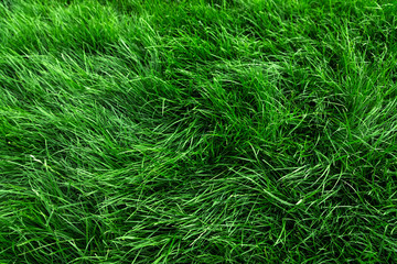 Wall Mural - Natural tall green grass background, fresh lawn top view