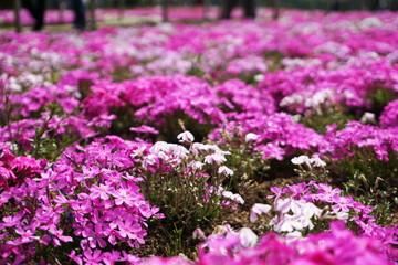 Printed roller blinds Lilac Blooming Shibazakura Pink Moss flower garden