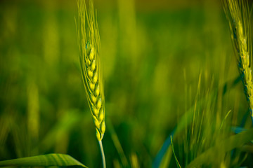 Close-up view of green wheat field in India Fotomurales