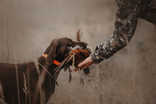 hunting dog gives pheasant game to owner