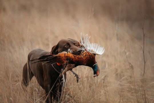 happy hunting dog bringing pheasant game in mouth