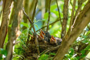 Amselküken im Nest warten mit geöffneten Schnäbeln auf Futter Fototapete