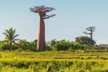 Poster Baobab Green field with baobab trees - Madagascar