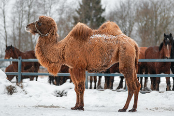 Poster Kameel Large two-humped brown camel in the corral in winter.