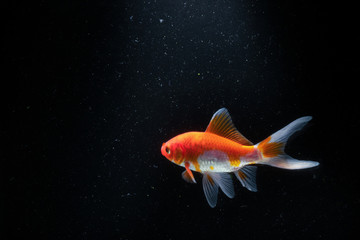 Goldfish in Aquarium with black background