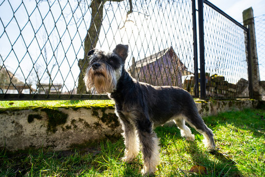 A beautiful miniature schnauzer in a home garden. The dog guards the property.