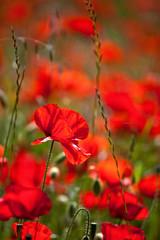 Photo sur Plexiglas Rouge Coquelicot au printemps dans la campagne.