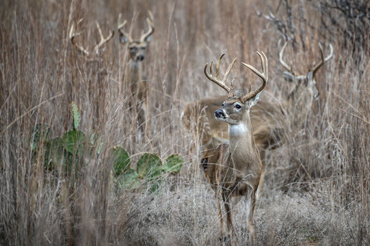 Whitetail Deer in the grass