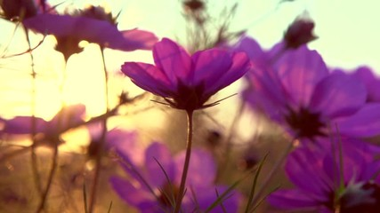 Fotoväggar - Cosmos Flower blooming in a garden over sunset sky. Beautiful red and pink colorful flowers growing on field. Spring and Summer nature scene. Sun flare. Slow motion 4K UHD video