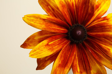 Fragment bright orange rudbeckia flower isolated on a beige background.