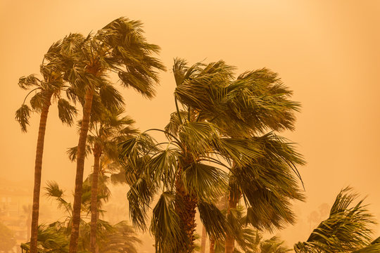 La Calima, heavy sand storm threatening palm trees.