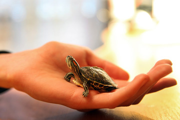 Foto op Aluminium Schildpad red eared turtle small in the palm of your hand on the table