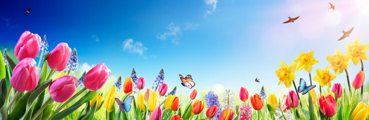 Tulips And Daffodils In Sunny Field - Spring flowers