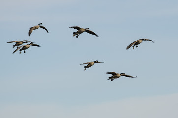 Fototapete - Flock of Canada Geese Coming in for a Landing