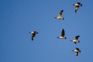 Fototapete - Flock of Canada Geese Flying in a Blue Sky