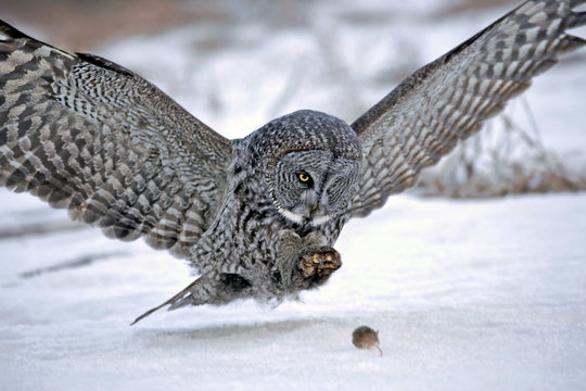 Hunting Great Grey Owl in flight, about to catch a mouse