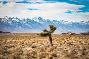 Death Valley Joshua Tree