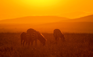 Fotorollo Violett rot Zebras feeding in grassland at Masai Mara during sunrise, Kenya, Africa