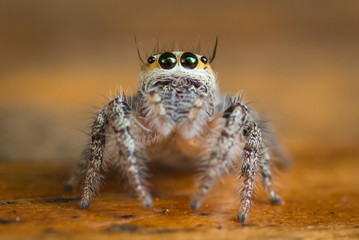 A cute little jumping spider with likely eyes