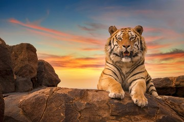 A solitary adult Bengal tiger (Panthera tigris) looking at the camera from the top of a rocky hill, with a beautiful sunset sky in the background.