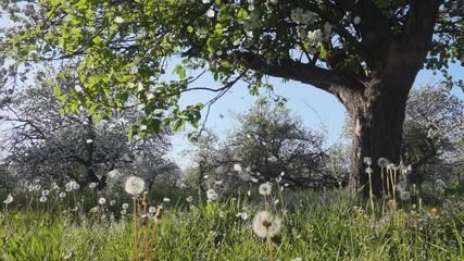 壁紙(ウォールミューラル) - Picturesque view with blooming dandelions and green grass in sunny weather.