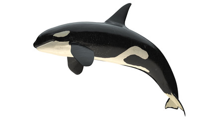 Isolated killer whale orca close mouth right side view on white background cutout ready 3d rendering