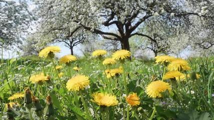 壁紙(ウォールミューラル) - Lush dandelion in a ornamental garden in sunny weather.